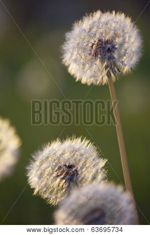 Tiny Spring Dandelions