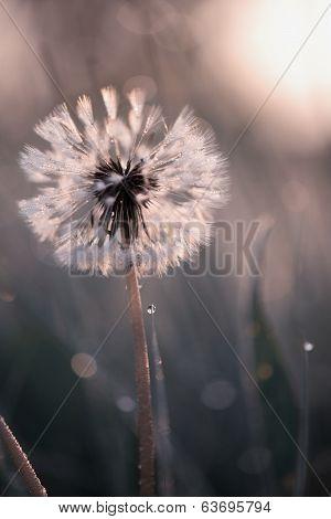 Tiny Spring Dandelion