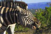 Zebra showing his teeth poster