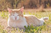 Yellow and white tomcat relaxing in spring grass back lit by late afternoon sun poster