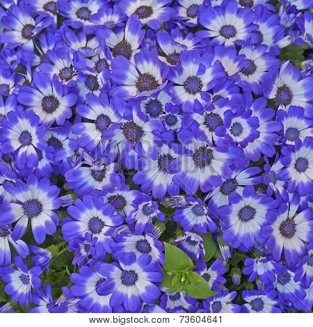 cineraria flowers bouquet closeup