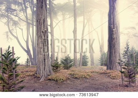 Morning Fog In The Woods