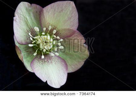 Speckled Pasque Flower