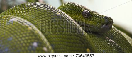 green tree python banner