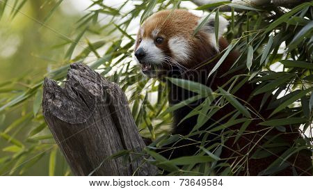 red panda lookout