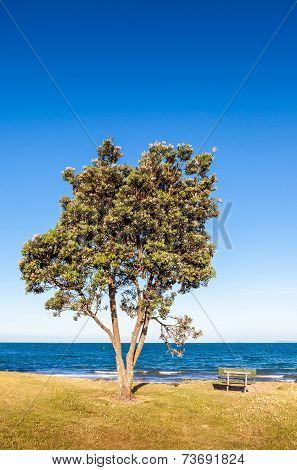 Pohutukawa Tree (metrosideros Excelsa), A Coastal Evergreen Tree Endemic, New Zealand.