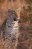 Leopard (Panthera pardus) standing alert in savannah in nature reserve in South Africa poster