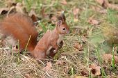 Red squirrel searching for nuts on the ground into the forest poster