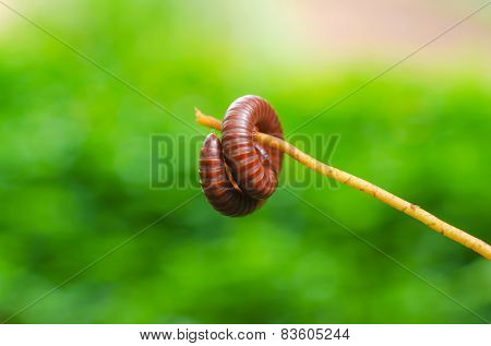 Millipede Is Insects That Have Several Legs