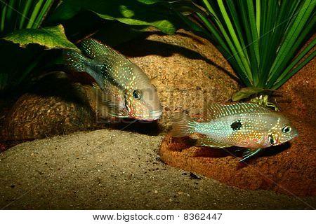 Mexican Fire Mouth (Thorichthys ellioti)