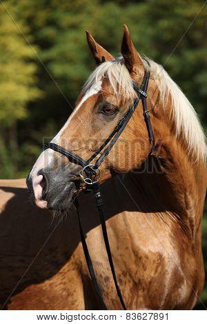 Beautiful Amazing Palomino Warmblood With Blond Hair