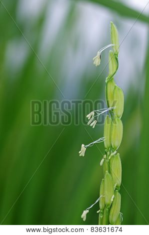 young rice seeds and rice flowers