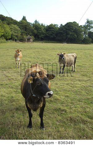 Trio of Jersey cows