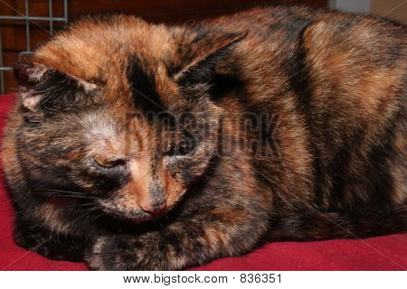Tortise Shell Cat