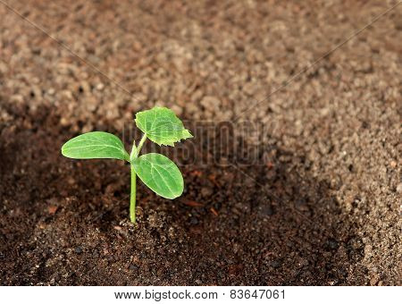 Cucumber Seedling In The Ground, Closeup