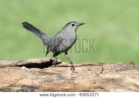 Gray Catbird (dumetella Carolinensis) On A Log
