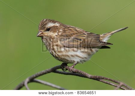 Female Purple Finch (carpodacus Purpureus)