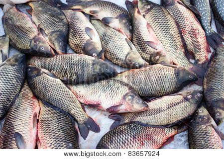 Alive carp for sale