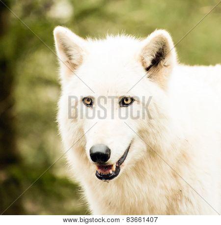 Headshot Of A White Wolf