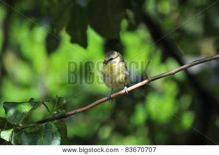 Wee Juvenile Blue-tit Perched On A Branch.