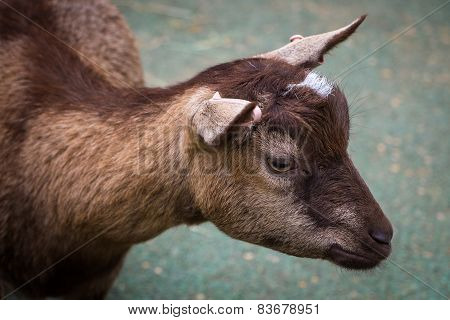 Close Up Of A Small Goat