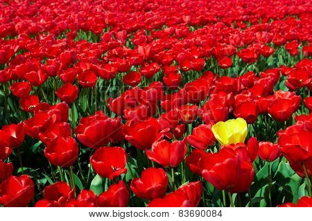 One yellow tulip among red ones