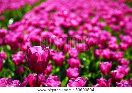 One violet tulip is higher among lower ones