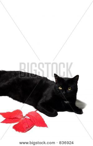 poster of black cat and red leaf isolated