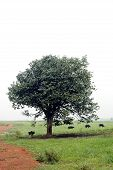 tree in the middle of the field with several cows eating grass. poster