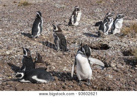Magellanic Penguins At Natural Protected Area Punta Tombo, Chubut, Patagonia, Argentina