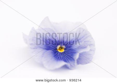 Blue Pansy Flower
