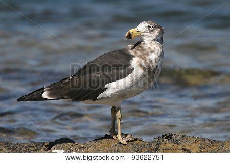 Pomarine Jaeger Stercorarius pomarinus at the beach