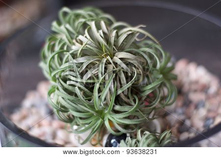 Air Plant Tillandsia on a beautiful pot