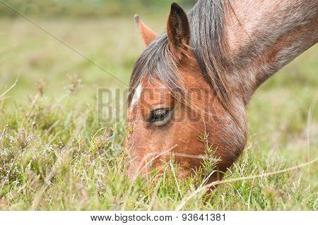Pony Grazing