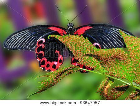 Scarlet Mormon Butterfly On Leaf