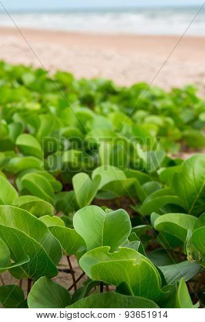 Goat's Foot Creeper, Beach Morning Glory on sea beach.
