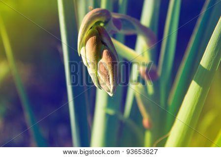 Yucca Bud