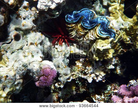 Mollusc and sea-hedgehog in red sea