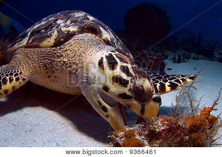 Hawks Bill Sea Turtle