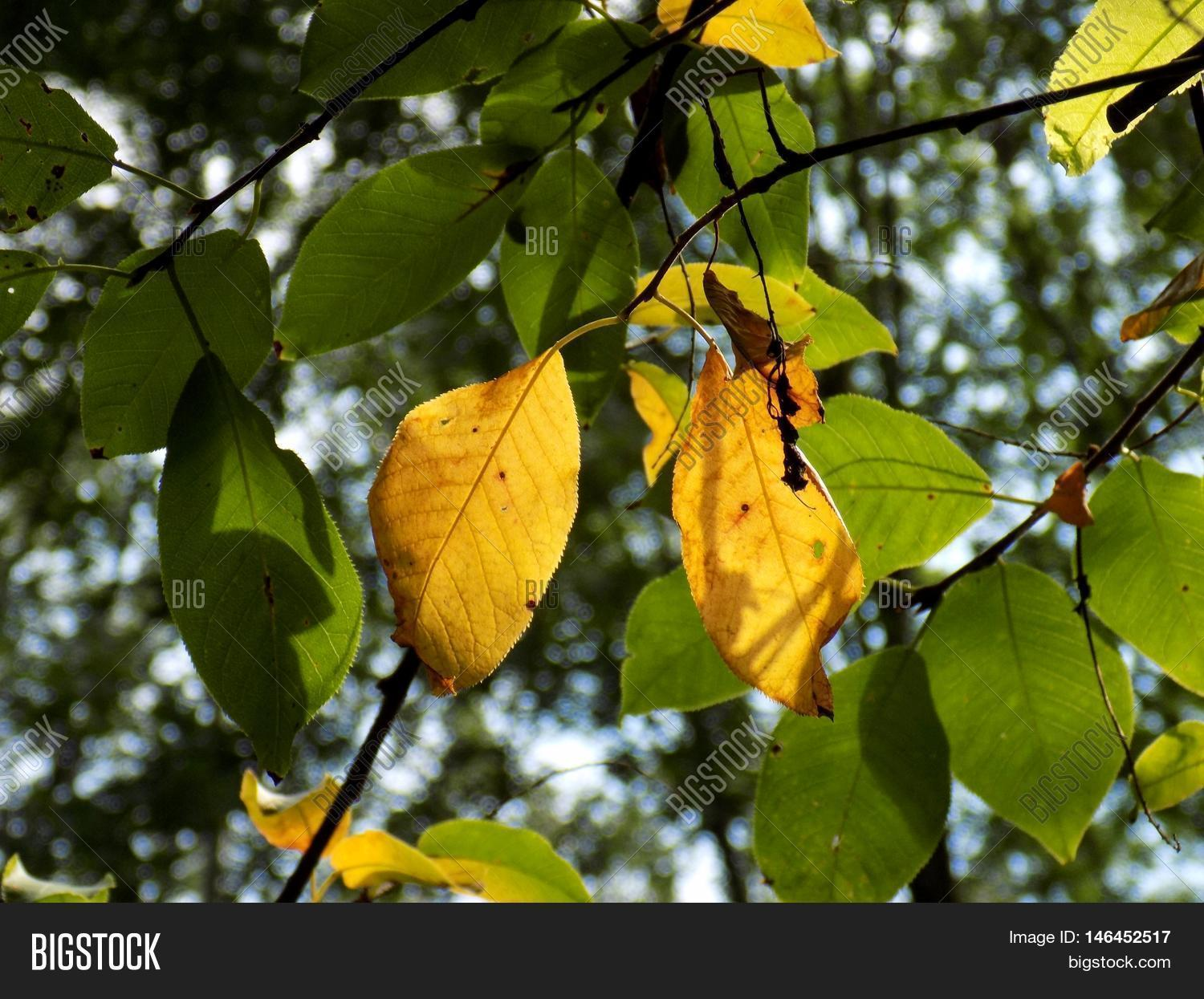 Green Changing Color Yellow Leaves Image & Photo | Bigstock
