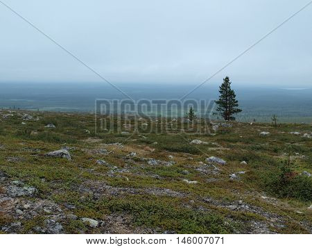 Lonely tree panorama in Lapland wilderness landcape