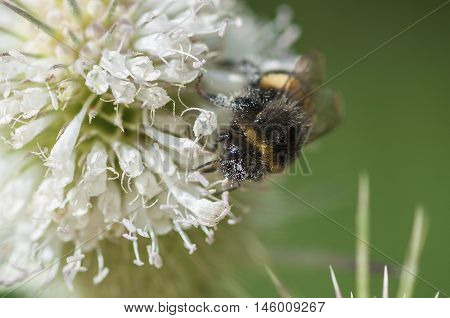 Bumble bee gathering pollen. Closeup. Covered in pollen.