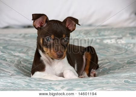 Puppy laying on bed