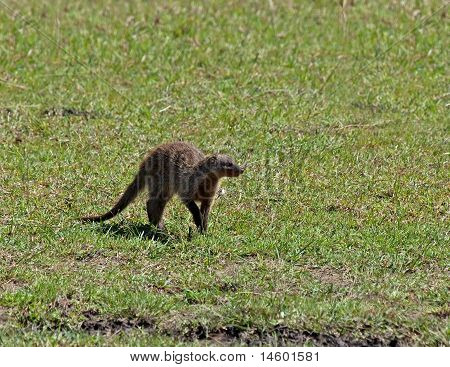 Adult African mammal Banded Mongoose on the Masai Mara, Kenya poster