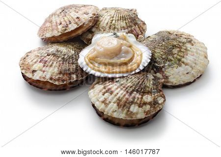 raw scallops, opened shell