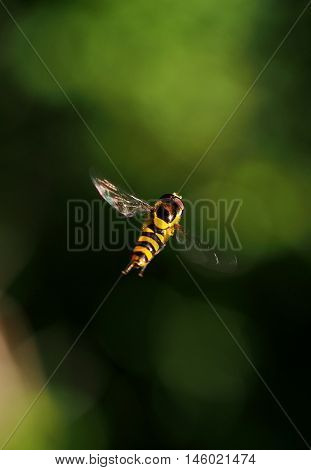 Bee like pollen insect captured in mid air