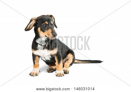 Dachshund puppy small dogs on a white background