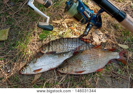 Several Common Roach Fish On Green Grass. Catching Freshwater Fish And Fishing Rods With Reels On Gr