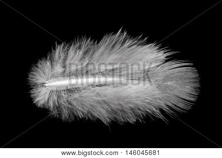 small white feather isolated on black background
