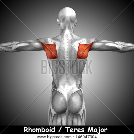 Concept or conceptual 3D illustration back human anatomy or anatomical and muscle on gray background